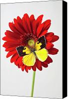 Chrysanthemums  Canvas Prints - Red mum with Dogface butterfly Canvas Print by Garry Gay
