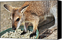 Wallaby Canvas Prints - Red-necked Wallaby Canvas Print by Kaye Menner