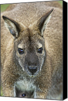 Wallaby Canvas Prints - Red-necked Wallaby Canvas Print by Tony Camacho