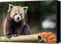 Critter Canvas Prints - Red Panda Fascination Canvas Print by Greg Nyquist