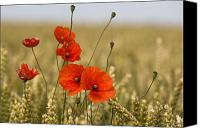 Cultivation Canvas Prints - Red Poppies In A Field Of Grain Canvas Print by John Short