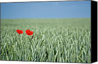 Hungary Canvas Prints - Red Poppy Flower And Buds In Field Canvas Print by Photographs by Gabor Szello