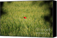 Nature Photo Canvas Prints - Red Poppy in a field Canvas Print by Pixel Chimp