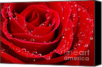 Droplets Canvas Prints - Red rose Canvas Print by Elena Elisseeva