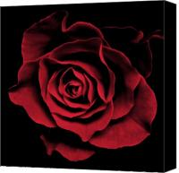 Photographs Digital Art Canvas Prints - Red Rose II Canvas Print by Artecco Fine Art Photography - Photograph by Nadja Drieling