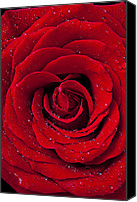 Wet Canvas Prints - Red Rose With Dew Canvas Print by Garry Gay