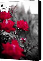 White Seagull Canvas Prints - Red Roses Canvas Print by Dustin K Ryan