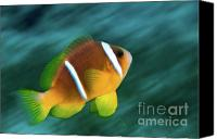 Amphiprion Bicinctus Canvas Prints - Red Sea clownfish  Canvas Print by Hagai Nativ