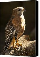 Florida Nature Photography Canvas Prints - Red-Shouldered Hawk Canvas Print by Carolyn Marshall