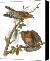Predatory Canvas Prints - Red-Shouldered Hawk Canvas Print by John James Audubon