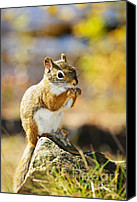 Nuts Canvas Prints - Red squirrel Canvas Print by Elena Elisseeva