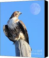 Animals Art Digital Art Canvas Prints - Red Tailed Hawk and Moon Canvas Print by Animals Art