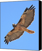 Birds In Flight Canvas Prints - Red Tailed Hawk in flight Canvas Print by Wingsdomain Art and Photography