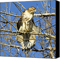 Metamora Canvas Prints - Red Tailed Hawk in Winter Canvas Print by Rodney Campbell