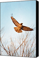 Bare Tree Canvas Prints - Red-tailed Hawk Takes Flight At Sunset Canvas Print by Susan Gary