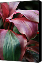 Diversity Digital Art Canvas Prints - Red Ti - Cordyline terminalis Canvas Print by Sharon Mau