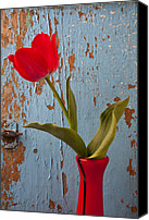 Peeling Canvas Prints - Red Tulip Bending Canvas Print by Garry Gay