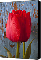 Tulip Canvas Prints - Red Tulip Canvas Print by Garry Gay