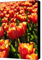 Cornwall Canvas Prints - Red Tulips Canvas Print by Francesco Emanuele Carucci