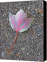 Photos Of Autumn Canvas Prints - Red Veined Leaf Canvas Print by Todd Breitling