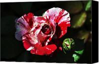 Bruster Canvas Prints - Red Verigated Rose Canvas Print by Clayton Bruster
