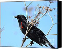 Black Birds Canvas Prints - Red-Winged Blackbird . 40D5718 Canvas Print by Wingsdomain Art and Photography