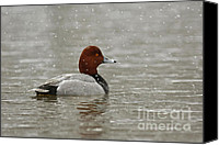 Storm Prints Canvas Prints - Redhead Duck in winter Snow Storm Canvas Print by Inspired Nature Photography By Shelley Myke