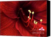 Elegant Canvas Prints - Ref Lily Canvas Print by Carlos Caetano