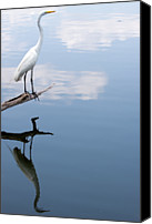 Great Egret Canvas Prints - Reflecting Egret Canvas Print by John Simandl