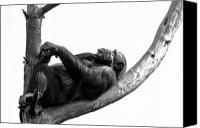 Chimpanzee Photo Canvas Prints - Relax Canvas Print by Gert Lavsen