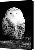 Predator Canvas Prints - Resting Snowy Owl Canvas Print by Darcy Michaelchuk