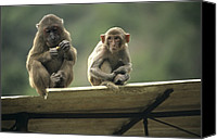Monkeys Canvas Prints - Rhesus Monkeys At Concession Area Canvas Print by Raymond Gehman