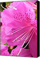 Rain Drops On Flower Digital Art Canvas Prints - Rhododendron flower Canvas Print by Manuela Constantin