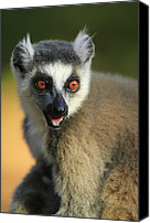 Berenty Canvas Prints - Ring-tailed Lemur Calling Canvas Print by Cyril Ruoso