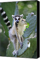 Berenty Canvas Prints - Ring-tailed Lemur Eating Opuntia Canvas Print by Cyril Ruoso