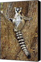 Berenty Canvas Prints - Ring-tailed Lemur In A Tree Canvas Print by Cyril Ruoso