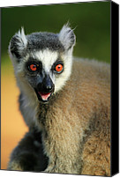 Berenty Canvas Prints - Ring-tailed Lemur Lemur Catta Portrait Canvas Print by Cyril Ruoso