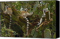 Berenty Canvas Prints - Ring-tailed Lemur Lemur Catta Trio Canvas Print by Pete Oxford