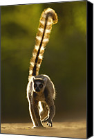 Berenty Canvas Prints - Ring-tailed Lemur Lemur Catta Walking Canvas Print by Pete Oxford