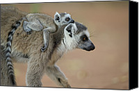 Berenty Canvas Prints - Ring-tailed Lemur Mom And Baby Canvas Print by Cyril Ruoso