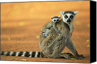 Berenty Canvas Prints - Ring-tailed Lemur Mother and Baby Canvas Print by Cyril Ruoso