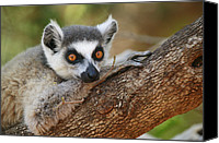 Berenty Canvas Prints - Ring-tailed Lemur Resting Canvas Print by Cyril Ruoso