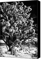 Joshua Trees Canvas Prints - Rip Canvas Print by John Rizzuto