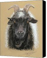 Goat Pastels Canvas Prints - Rip Torn Myotonic Goat Canvas Print by Terry Kirkland Cook