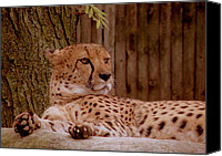 Animals Canvas Prints - Rita The Cheetah Canvas Print by Trish Tritz