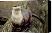 Otter Photo Canvas Prints - River Otter Canvas Print by John Burk