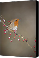 Berry Canvas Prints - Robins Berries Canvas Print by Andy Astbury