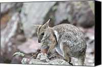 Wallaby Canvas Prints - Rock Wallaby Canvas Print by Douglas Barnard