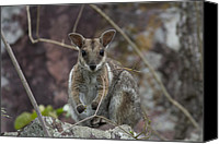 Wallaby Canvas Prints - Rock Wallaby V2 Canvas Print by Douglas Barnard