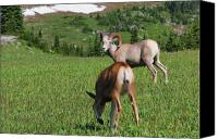 Meadows Canvas Prints - Rocky mountain bighorn sheep ram and mule deer doe Glacier National Park MT Canvas Print by Christine Till